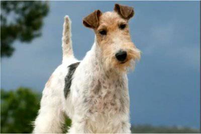 $600 Dog Breeds clue (Jeopardy! 1-29-18)
